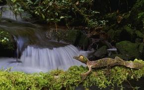fantastic listohvosty gecko, Satanic gecko, gecko, lizard, creek, stones, moss, nature