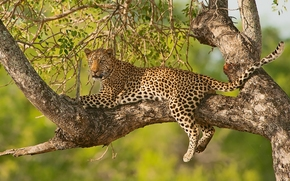 leopard, gattopardo, albero, FILIALE, sull'albero, ricreazione