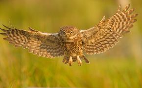 Домовый сыч, сыч, сова, птица, крылья, полёт