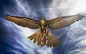 ястреб, птица, крылья, полёт