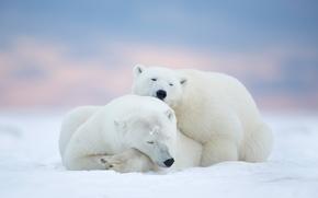 парочка, отдых, медведи, сон, белые медведи