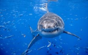 Белая акула, акула, красава, рыбы, улыбка, океан
