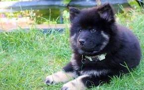 Eurasier, perro, cachorro