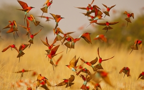 Carmine Bee-eater, bee-eater, birds, lot, pack