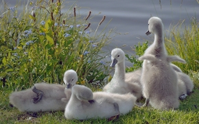 Swans, Vögel, Küken