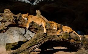 львица, парочка, лев, отдых, львы, релакс, бревно