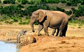 слонёнок, малыш, слониха, слоны