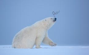 Ejercicio de equilibrio, Oso polar, Norte, Pendiente, Alaska, EE.UU.