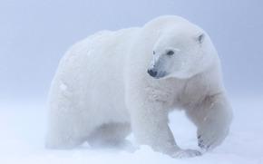 Ours blanc, Arctic National Wildlife Refuge, Alaska, USA