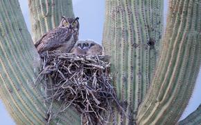 Gufo Grande corna, Saguaro Nest, Pima County, Arizona, USA