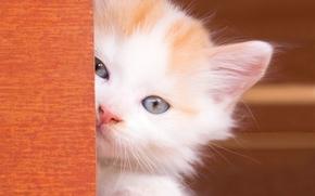 gattino, bambino, gli occhi azzurri, museruola, visualizzare