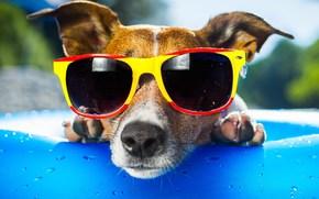 perro, gafas, ver