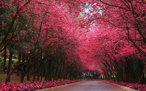 parco, stradale, alberi, Sakura, paesaggio