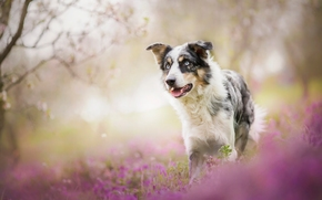 Border Collies, dog, Flowers, bokeh