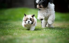 Shih Tzu, Cane, cucciolo, fermo