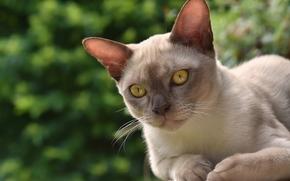 Gatto Burmese, Birmano, gatto, museruola