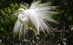 large, White, heron, Great White Egret, downtown Dallas, Texas, USA