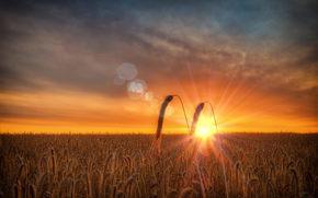 campo, spighe di grano, DAWN, salire, mattinata, estate