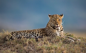 leopard, gattopardo, Krasava