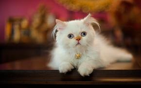Persian cat, cat, Furry, view