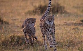 Cheetahs, Wildcats, savana, fermo