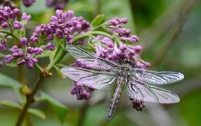 libélula, lila, rama, Macro