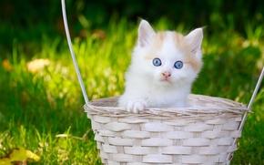 gattino, bambino, gli occhi azzurri, visualizzare, cestino