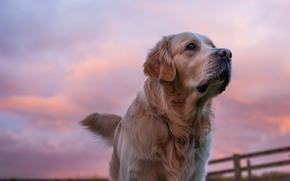 золотистый ретривер, голден ретривер, собака