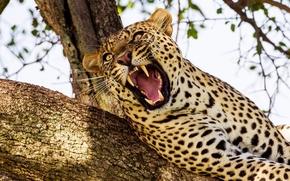 leopard, wildcat, predator, jaws, canines, tree