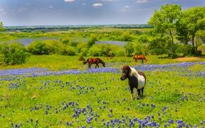 Texas, Texas, horse, Horses, meadow, Flowers, nature