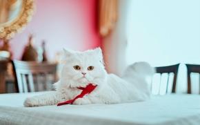 персидская кошка, перс, кот, пушистый, галстук, взгляд, на столе