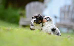 Australian Shepherd, Aussies, Cão, Filhotes, crianças, bokeh