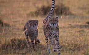 Cheetahs, Ghepardo, Masai Mara, Kenia