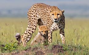ghepardo, gattino, Ghepardo e cub, Masai Mara, Kenia