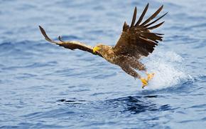 Sea, aquila, Aquila di mare