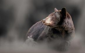барибал, чёрный медведь, медведь