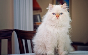 Persian cat, cat, COTE, Persian, Furry, view, portrait, on the table