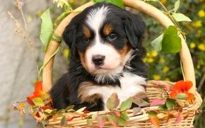 Бернский зенненхунд, бернская овчарка, собака, щенок, корзина, листья