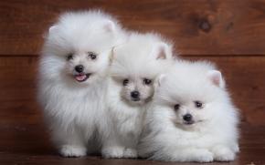 斯皮茨, 狗, 小狗, 三位一体, 三人