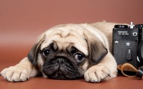Mops, Hund, Welpen, Schnauze, ansehen, Kamera