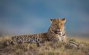 leopard, Leopard femminile, Masai Mara, Kenia