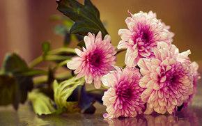 Crisantemo, bouquet, Macro
