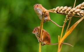 Eurasian harvest mouse, mouse, ears of corn, Spikelets, couple, Macro