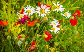 黄春菊, 罂粟, 夏天
