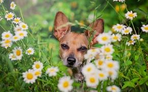 собака, мордашка, ромашки, цветы