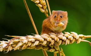 Eurasian harvest mouse, mouse, ears of corn, Spikelets, Macro