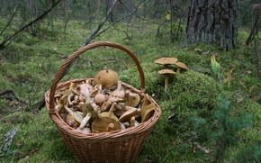 mushrooms, basket, forest, moss, autumn, tour, nature, food