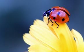божья коровка, жук, насекомое, цветок, лепестки, макро