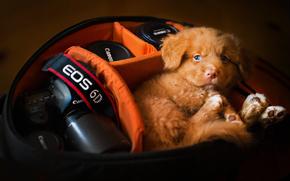 Nova Scotia Duck Tolling Retriever, dog, puppy, wardrobe trunk, camera