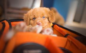 Nova Scotia Duck Tolling Retriever, dog, puppy, view, wardrobe trunk